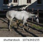 horse  equus ferus caballus ... | Shutterstock . vector #1076343155