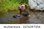 the grizzly bear also known as...   Shutterstock . vector #1076397356