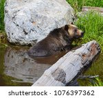 the grizzly bear also known as...   Shutterstock . vector #1076397362