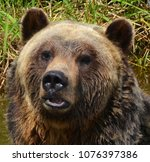 the grizzly bear also known as...   Shutterstock . vector #1076397386