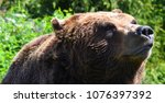 the grizzly bear also known as...   Shutterstock . vector #1076397392