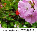 pink flowers bloom after... | Shutterstock . vector #1076398712