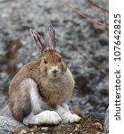 Snowshoe Hare  Vertical...