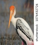 Beautiful Bird Painted Stork