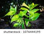 closeup young mulberry fruit... | Shutterstock . vector #1076444195