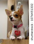 Small photo of Little adorable puppy Chihuahua, with the heart-shape pattern on the face