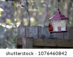 bright red male northern... | Shutterstock . vector #1076460842