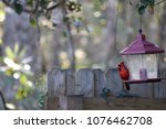 red male northern cardinal... | Shutterstock . vector #1076462708