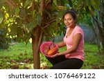 young woman on cacao harvest in ... | Shutterstock . vector #1076469122