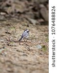 white wagtail   scientific name ... | Shutterstock . vector #1076488826