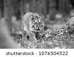 the siberian tiger  panthera... | Shutterstock . vector #1076504522