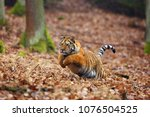 the siberian tiger  panthera... | Shutterstock . vector #1076504525