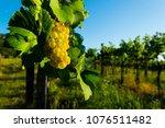 white wine grapes at vineyard | Shutterstock . vector #1076511482