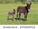 Baby Donkey And Mother On...