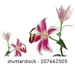 lily flower isolated on white... | Shutterstock . vector #107662505