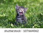 Small Gray Tabby Kitten Meowin...