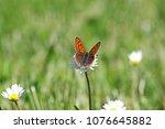 Female Purple Shot Butterfly...