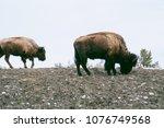 the bisons wild life in... | Shutterstock . vector #1076749568