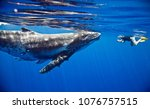 humpback whales moorea | Shutterstock . vector #1076757515