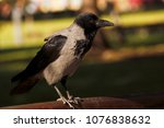 Small photo of Crow on the bench. Crow on the bench in the park. Crow in the park.