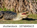 Photograph of 5 foot alligator sunning and smiling for the camera. St. Andrews State Park, Panama City Beach, Florida