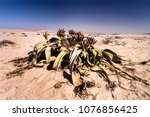 the welwitschia mirabilis  one... | Shutterstock . vector #1076856425
