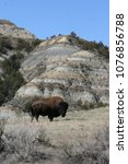Bison Bull In The Badlands Of...