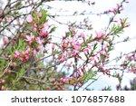 almond blossom pink flowers.... | Shutterstock . vector #1076857688