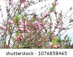 almond blossom pink flowers... | Shutterstock . vector #1076858465
