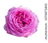 Stock photo isolated pink rose on white background 1076871842