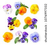 pansy flowers or spring garden... | Shutterstock . vector #1076997332