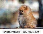 adorable pomeranian spitz puppy ... | Shutterstock . vector #1077023525