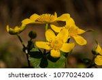 caltha palustris  marsh...   Shutterstock . vector #1077024206