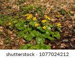 caltha palustris  marsh...   Shutterstock . vector #1077024212