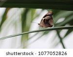 butterfly eats orange  | Shutterstock . vector #1077052826
