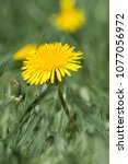 Small photo of Medicinal herbs: Yellow dandelion on green blurred background (Taraxacum officinale)