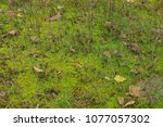 green moss in dry grass and... | Shutterstock . vector #1077057302