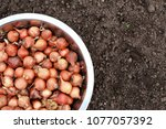 small onions for planting in... | Shutterstock . vector #1077057392