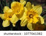 beautiful spring daffodils | Shutterstock . vector #1077061382