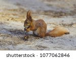 squirrel gnaws  eats a nut in... | Shutterstock . vector #1077062846