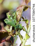 Small photo of Rolled leaves of rose by caterpillar of Archips rosana (Cacoecia) the rose tortrix Tortricidae.