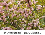 blossoming peach tree branches. | Shutterstock . vector #1077085562