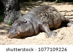 Hippo Is Lying In The Sand And...
