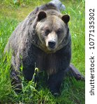 the grizzly bear also known as...   Shutterstock . vector #1077135302