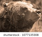 the grizzly bear also known as... | Shutterstock . vector #1077135308