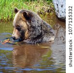the grizzly bear also known as...   Shutterstock . vector #1077135332