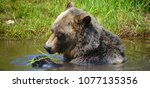 the grizzly bear also known as...   Shutterstock . vector #1077135356