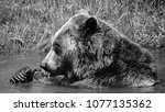 the grizzly bear also known as...   Shutterstock . vector #1077135362