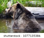 the grizzly bear also known as...   Shutterstock . vector #1077135386
