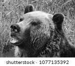 the grizzly bear also known as...   Shutterstock . vector #1077135392
